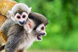 image of rainforest  - Two squirrel monkeys a mother and her child in the Amazon rainforest near Leticia Colombia - JPG