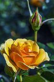 pic of rose bud  - buds of a tea rose in garden in summer - JPG