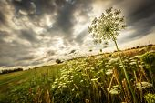 picture of wildflower  - Wildflowers  on the edge of farm field and under stormy skies - JPG