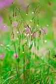 stock photo of wildflower  - Closeup of cerastium wildflower on a meadow in summertime - JPG