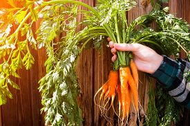 stock photo of dangling a carrot  - a new crop of carrots in the hands of a farmer on a wooden background selective focus - JPG