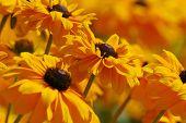 stock photo of yellow flower  - yellow flowers - JPG
