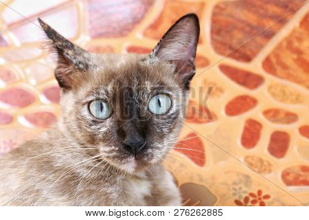 poster of Portrait Of Cat Face, Asia A Cat Face, Big Eyes Cat Close-up, Beauty Cat Cute