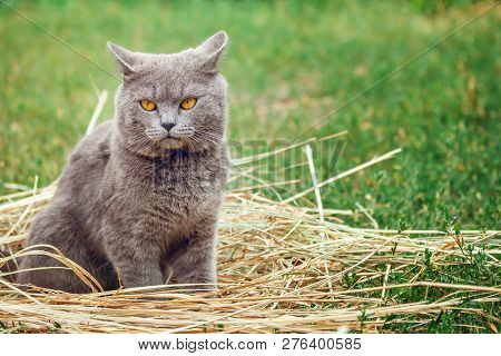 poster of Grey British Cat Lying In The Green Grass. British Blue Cat Posing. Cute Funny Cat Close Up.  Domest