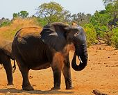 Large African Elephant Blowing Dust Over Itself, Elephants Do This To Protect Their Skin From The Sc poster