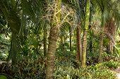 Carpoxykum Palm Or Aneityum Palm, Carpoxylon Macrospermum, Palm Tree poster