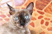 Portrait Of Cat Face, Asia A Cat Face, Big Eyes Cat Close-up, Beauty Cat Cute poster