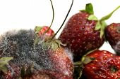 Strawberry Rot, Rotten Fruit, Fruit Moldy, Rotten Fruit, Fruit Strawberry Rot And Mold Close Up poster