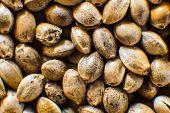 Organic Hemp Seed. Close Up. Many Cannabis Seeds. Hemp Seeds Background In Macro. Macro Detail Of Ma poster
