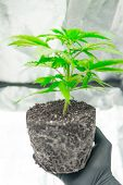 Professional Cannabis Cultivation Grow. In The Hands Of The Grower, The Beautiful Roots Of The Marij poster