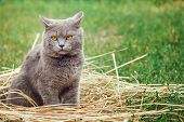Grey British Cat Lying In The Green Grass. British Blue Cat Posing. Cute Funny Cat Close Up.  Domest poster