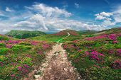 Magic pink rhododendron flowers on summer mountain. Blue sky and fluffy clouds. Chornohora ridge, Ca poster