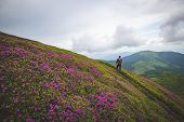 Traveler, Man Stands On The Mountain Trail Among Flowering Pink Rhododendrons. Epic Travel In The Mo poster