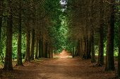 Walkway Lane Path Through Green Thuja Coniferous Trees In Forest. Beautiful Alley, Road In Park. Pat poster