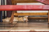 Red Little Kitten Lying Under The Bench On A Summer Day.cat Under Bench. Sleeping Ginger Cat In Shad poster