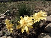 foto of adonis  - Spring yellow flowers of Adonis  - JPG