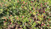 Big Pink Azalea Or Rhododendron In A Organic Garden. Season Of Flowering Azaleas . Azaleas Are Shade poster