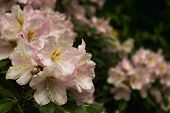 Rhododendron. Bright And Juicy Flowers On The Rhododendron Bush. Floral Background With Beautiful Fl poster