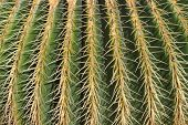 picture of mother law  - Close up of Echinocactus grusonii  - JPG