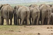 picture of gentle giant  - elephants standing in a row with their behinds facing the camera - JPG