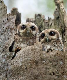 stock photo of screech-owl  - The Bare - JPG