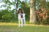 stock photo of parti poodle  - Standard Parti  Poodle in a park - JPG