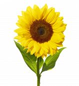 Girasol aislado en blanco con Clipping Path