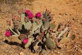 pic of brighten  - Prickly pear blooms brighten up the desert every spring - JPG