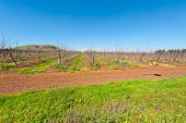 image of golan-heights  - Rows of Vines on the Field in Golan Heights Early Spring - JPG