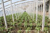 foto of stent  - Vegetable greenhouses internal view north china - JPG