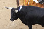 foto of bullfighting  - a wild bull wounded in a bullfight - JPG