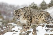 pic of snow-leopard  - Adult male rare and elusive Snow Leopard in winter snow scene - JPG