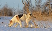 picture of laika  - Husky picked up a trail and sniffs up a game - JPG