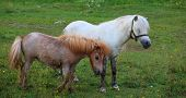 picture of nano  - Two Ponies grazing - Nanos mountain Slovenia