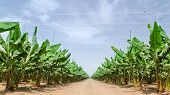 foto of banana tree  - Road stretches to the horizon in palm orchard between banana trees rows plantations in Middle East - JPG