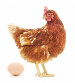 stock photo of egg-laying  - Isolated brown hen with egg in the studio - JPG