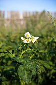 picture of solanum tuberosum  - blooming potato in rustic vegetable garden closeup - JPG