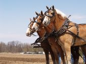 stock photo of horse plowing  - Team of Belgian horses working a field in New York State - JPG