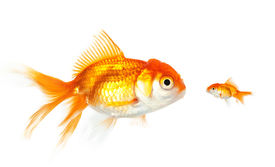 picture of swim meet  - Meeting of large and small goldfish - JPG