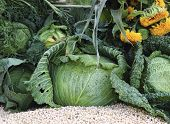 stock photo of grown up  - Close up of fresh organic grown cabbages - JPG