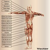 stock photo of triceps brachii  - Vector concept or conceptual 3D male or human anatomy - JPG