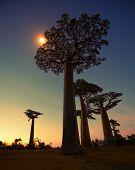 foto of baobab  - Baobab trees at sunset - JPG