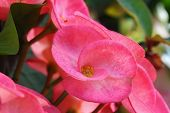 picture of thorns  - Pink christ thorn Crown of thorns close up - JPG