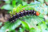 picture of caterpillar  - black caterpillar close up caterpillar in nature - JPG