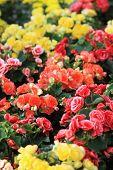 foto of begonias  - Beautiful colorful begonias background under the sunlight - JPG