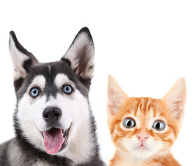 picture of little puppy  - Little red kitten and  husky puppy isolated on white - JPG