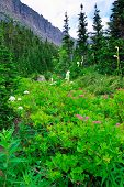 picture of conifers  - wild alpine flowers and conifer forest in front of the mountains of the glacier national park in summer - JPG