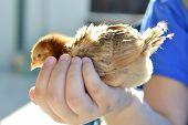 foto of poultry  - Rhode Island Red chicken poultry beautiful American breed - JPG