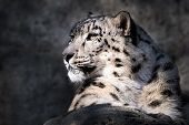 image of snow-leopard  - Profile Portrait of a Sunlit Snow Leopard - JPG