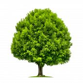 foto of ashes  - Perfect ash tree with lush green foliage and nice shape isolated on pure white background - JPG
